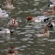滋賀県米原市の三島池まで鴨を見に出かけました
