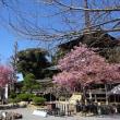 雨引観音の河津桜が満開です!!