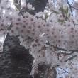夜越山の桜