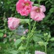 立葵(たちあおい)という花
