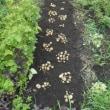 #ジャガイモ掘り
