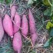 サツマイモ<鳴門金時>試し掘りしました。