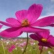 コスモス花の里祭