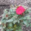 Diary:僕の庭にバラが咲いた~花たち&このところ。