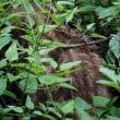 筑波山の湯袋の林道でウリ坊に遭遇