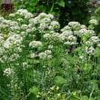 ニラの花に集まった昆虫(1)~アゲハとモンシロチョウ