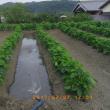 昼からは大働き。畝間潅水をしました。