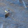 帷子川沿いの散歩で見たツグミ