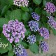 チャタとお多福紫陽花