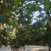 スペインの柿。