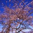 ポジフィルムで撮る春隣り 冬桜とクロッカス