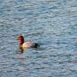 『花水川の野鳥』 オシハジロ