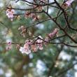 赤間神宮の寒桜