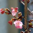 桜花を見ようと、小さな坂道を登った日!