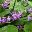 紫蘭(しらん)も綺麗に咲いてくれました