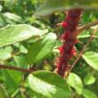 セリケアの赤いトゲ