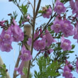 ◆熱海のジャカランダの花が咲き始める