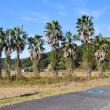 日南の田んぼの脇にもヤシの木が植えられています。 (Photo No.14118)