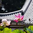 長泉寺の蓮