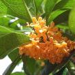 季節の花「金木犀 (きんもくせい)」