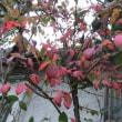 黄葉するギボウシ