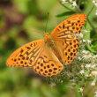 高ボッチ高原・鉢伏山で最近見る事の出来る昆虫 ミドリヒョウモン(緑豹紋)オス