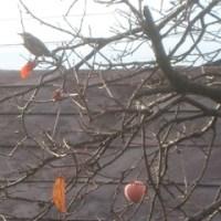 下諏訪の家の柿の木