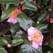冷たい雨に濡れても咲いています。薄紅色のお茶の花