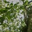 都立小金井公園の初秋・・ムクロジの木立ち