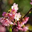 陽を受けて咲く てんれい河津桜 (波切・大慈寺)