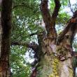 イチイガシの巨樹2