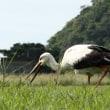石垣島にコウノトリがやって来た!