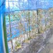 実豌豆(グリンピース)栽培、定植した
