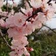 春ですね~。