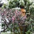 雨にも、雪にも負けないシジュウカラ・コウちゃん