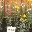 SIGMA SD1m+24mm F1.4 DG Art 新宿御苑菊花壇展