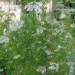 コリアンダーの花盛り