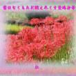 『 葉はなくもただ燃え尽くす曼珠沙華 』余命575交心zrq2707