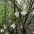 キンキマメザクラ(近畿豆桜)