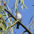 今日の鳥 エゾビタキ ビンズイ コサメビタキ 要約秋らしい鳥達が来始めました。