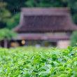 雨の後楽園茶畑
