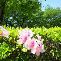 ♪‥バラの季節、一番好きな季節になりました。