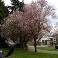 シアトルの桜も綺麗です。