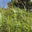 高ボッチ高原・鉢伏山で最近咲いている花 マツムシソウ(松虫草)