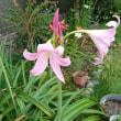 6月17日自宅の花