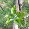 りんごの様子(H30・4・4)