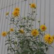 八重咲きハナガサギク