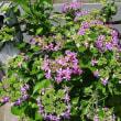 紫陽花の開花も早いよね