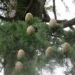 楽書き雑記「ヒマラヤスギに実る大きな松ぼっくり=名古屋・鶴舞公園」