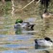 北印旛沼 ペリカン 野鳥など